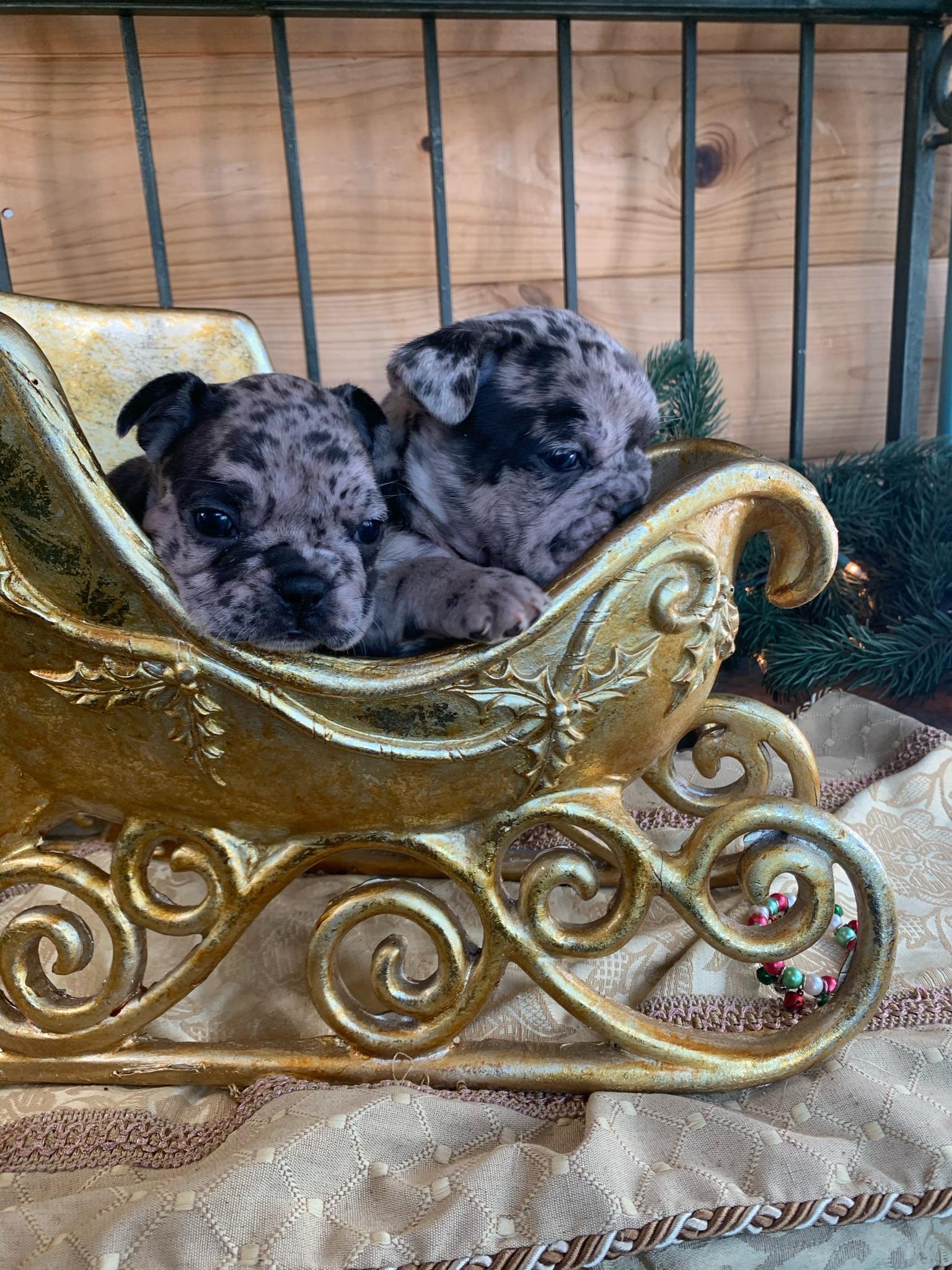 Merle Female French Bulldog: Cupcake- Sold
