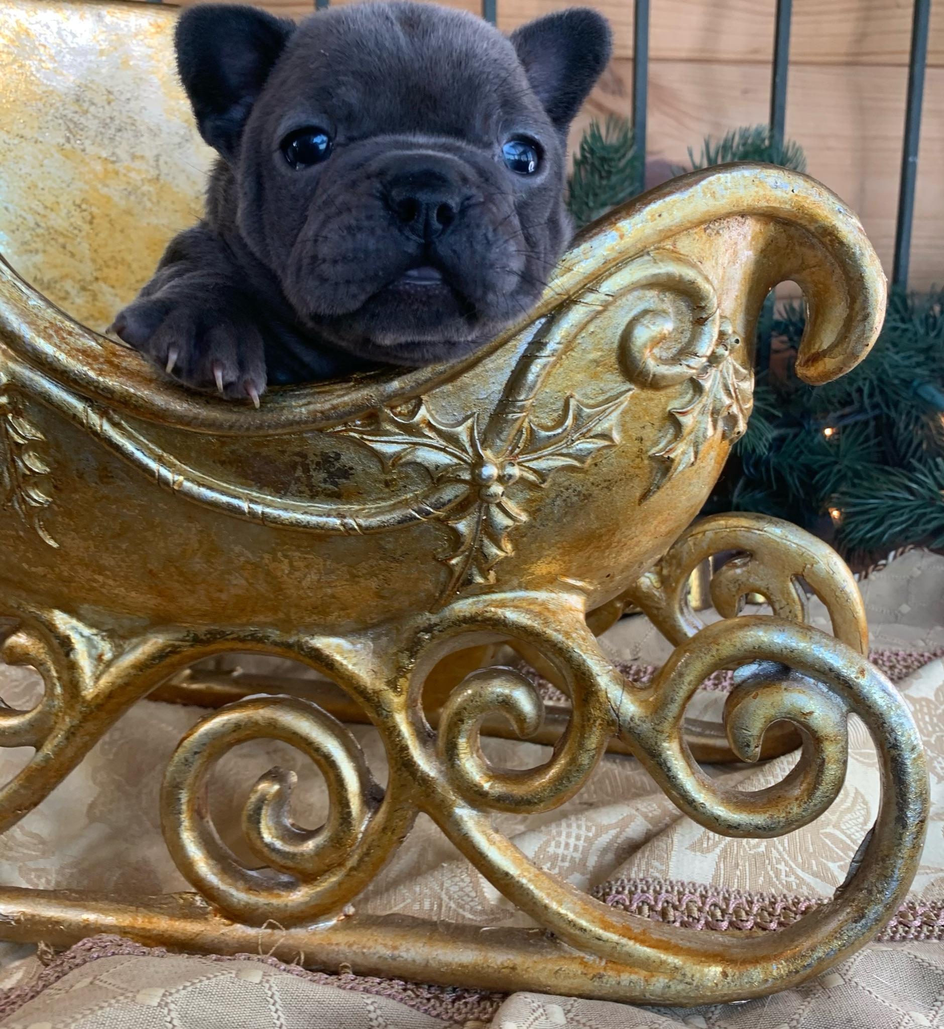 Blue Female French Bulldog: Cuddles