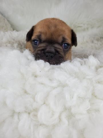 Fawn Female French Bulldog: Emmy