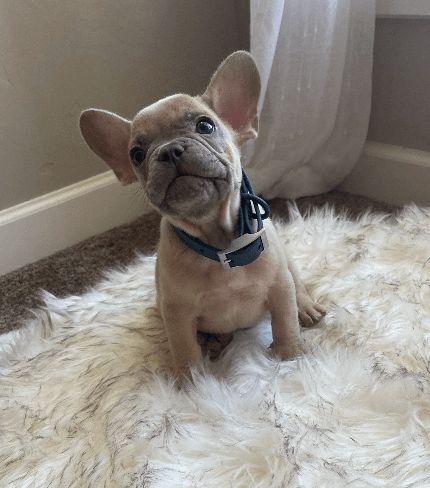 Lilac Fawn Male French Bulldog- Dodger-2600