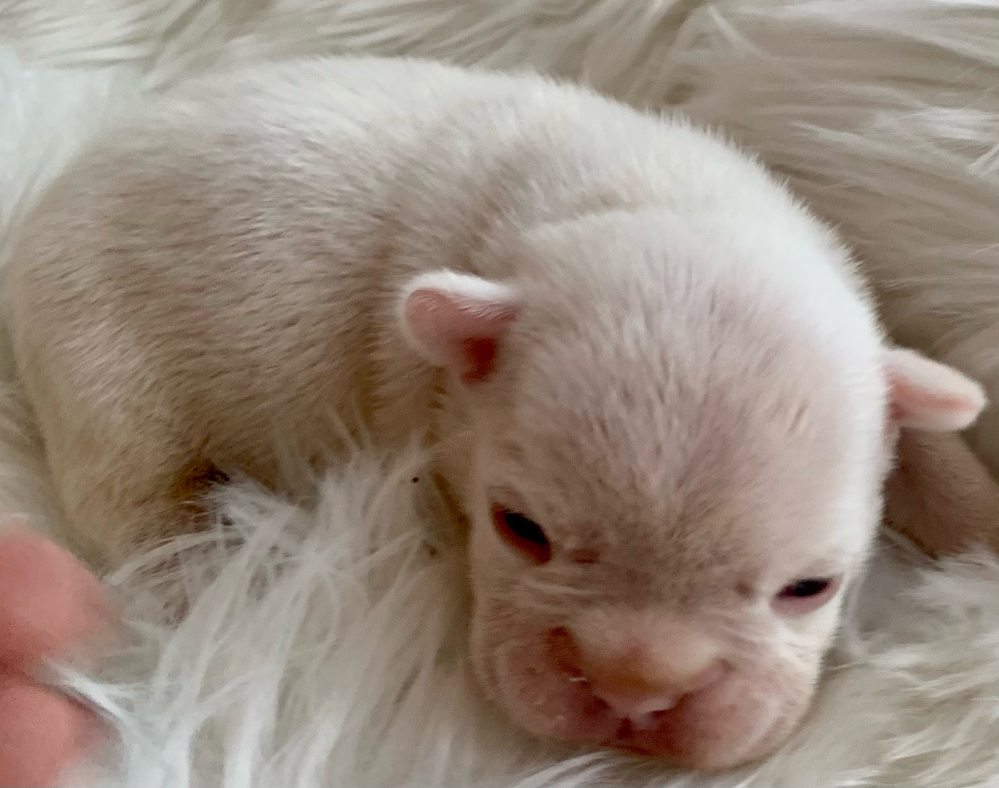 Blue Pied and Merle French Bulldog Litter: February 6, 2021