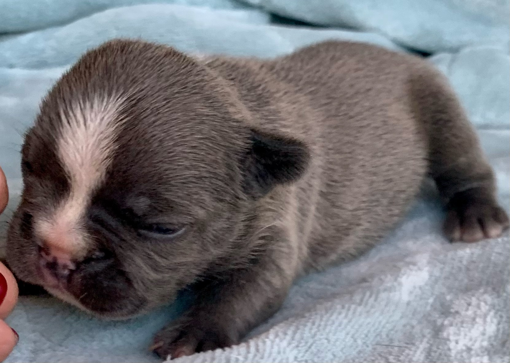 Litter of White & Blue French Bulldog Puppies: February 7, 2021