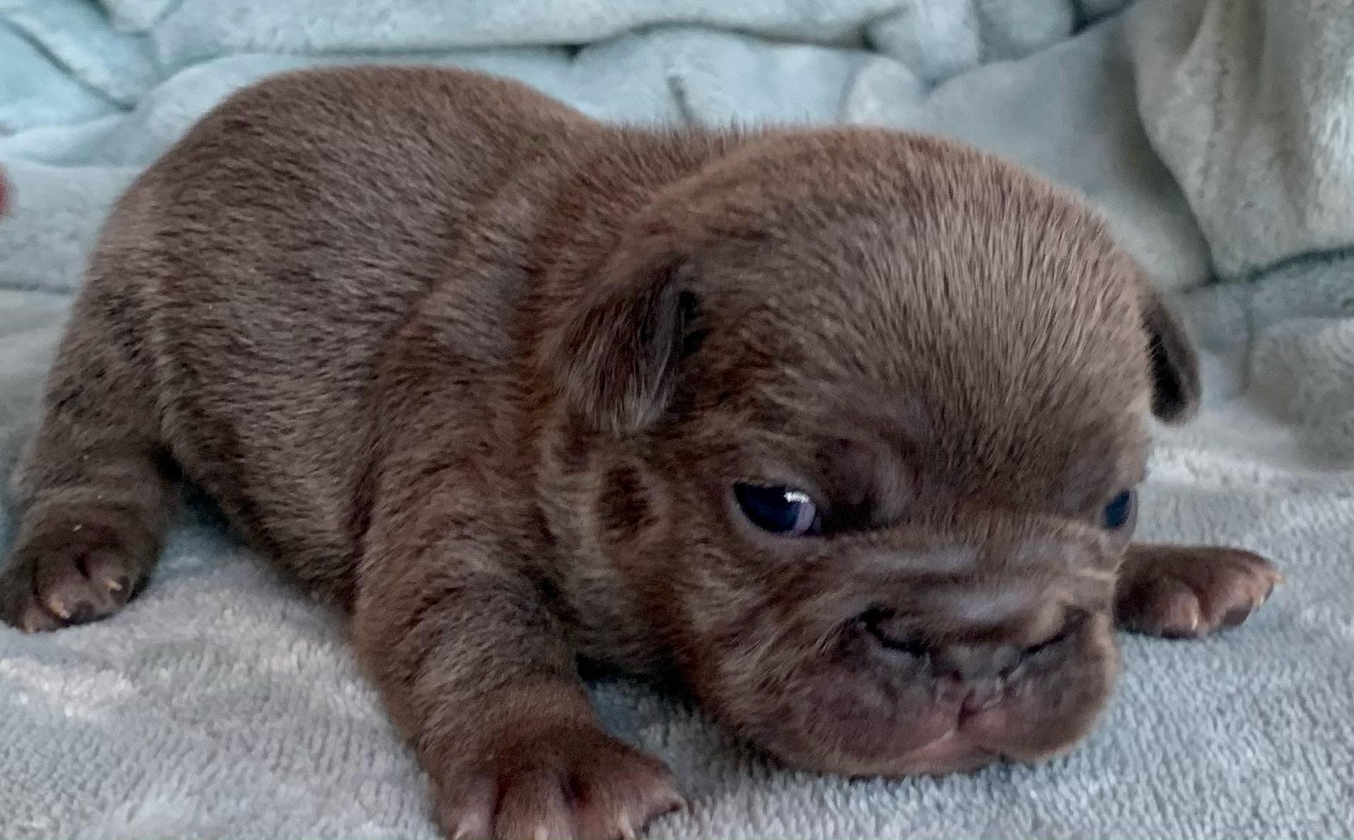 Blue and Merle French Bulldog Litter: February 6, 2021