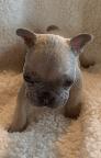 Lilac Fawn Male French Bulldog: Fidget-2852