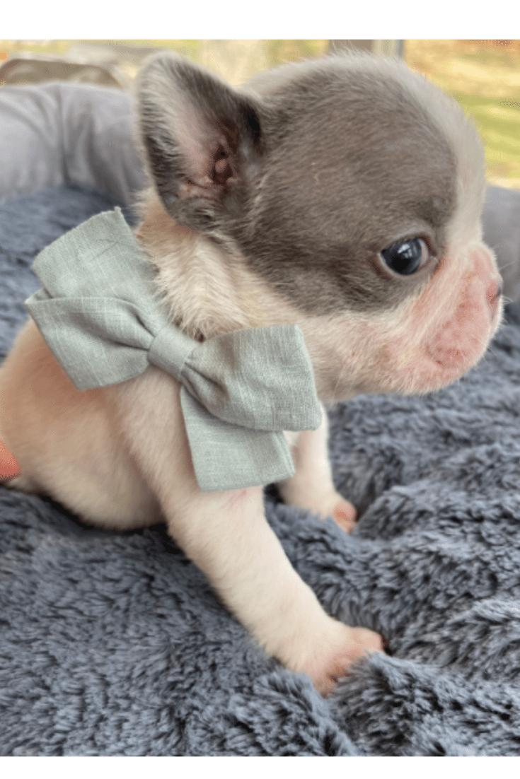 Lilac Pied Male French Bulldog: Ozzie -3647