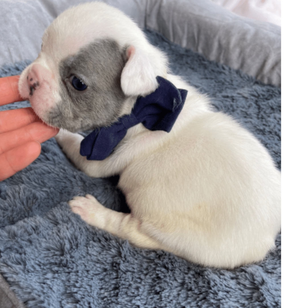 Lilac Pied Male French Bulldog: Oakley-4808