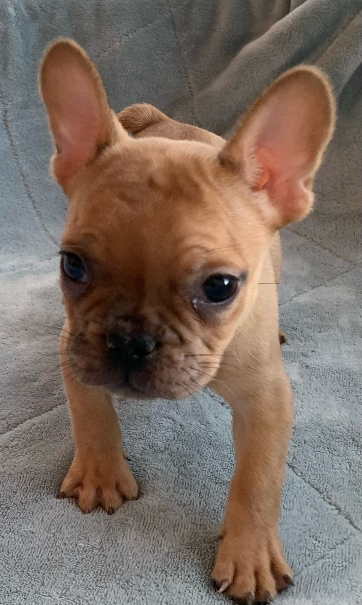 Fawn Male French Bulldog: Russet