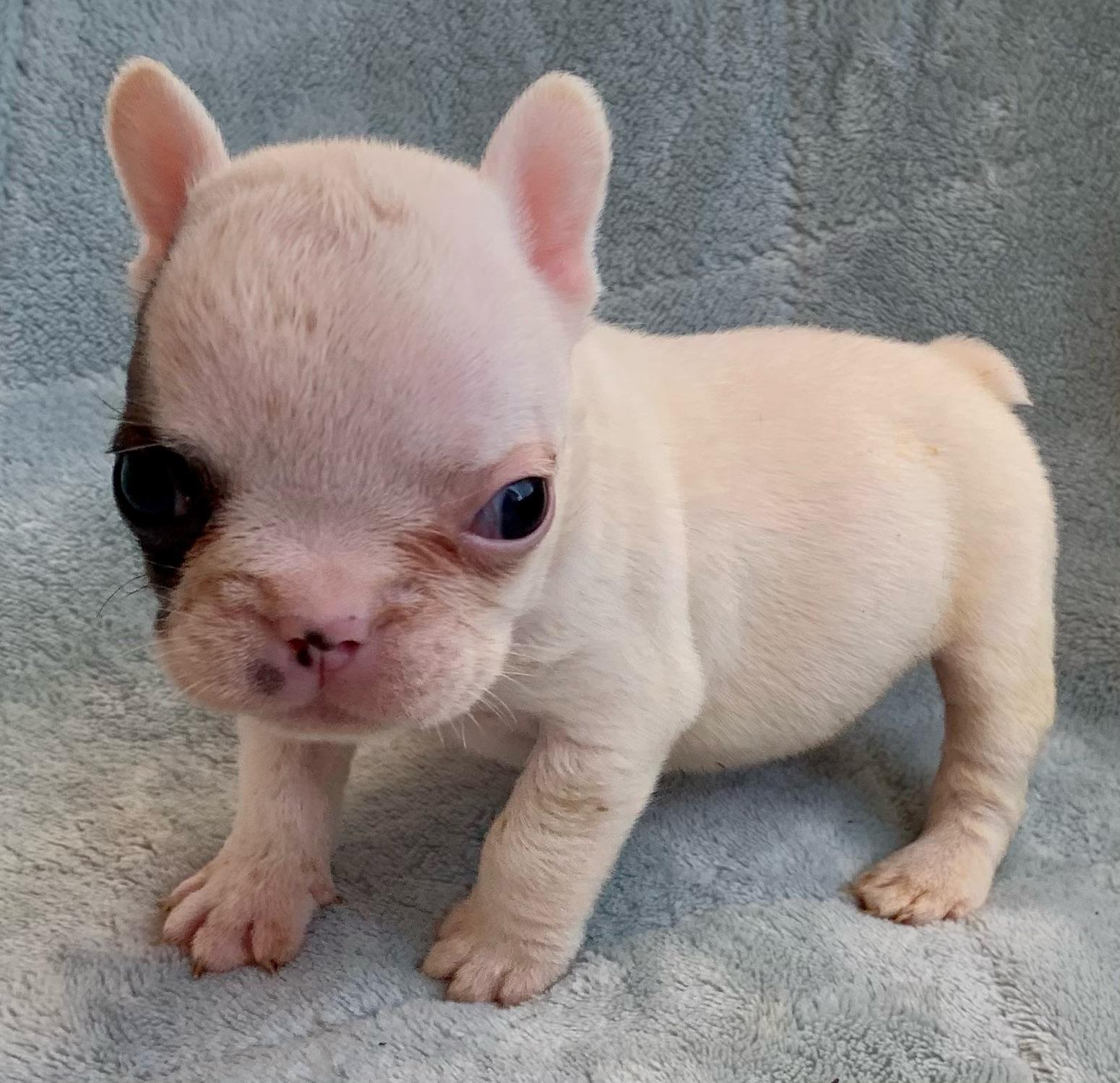 Fawn Pied Male French Bulldog: Idol-4265