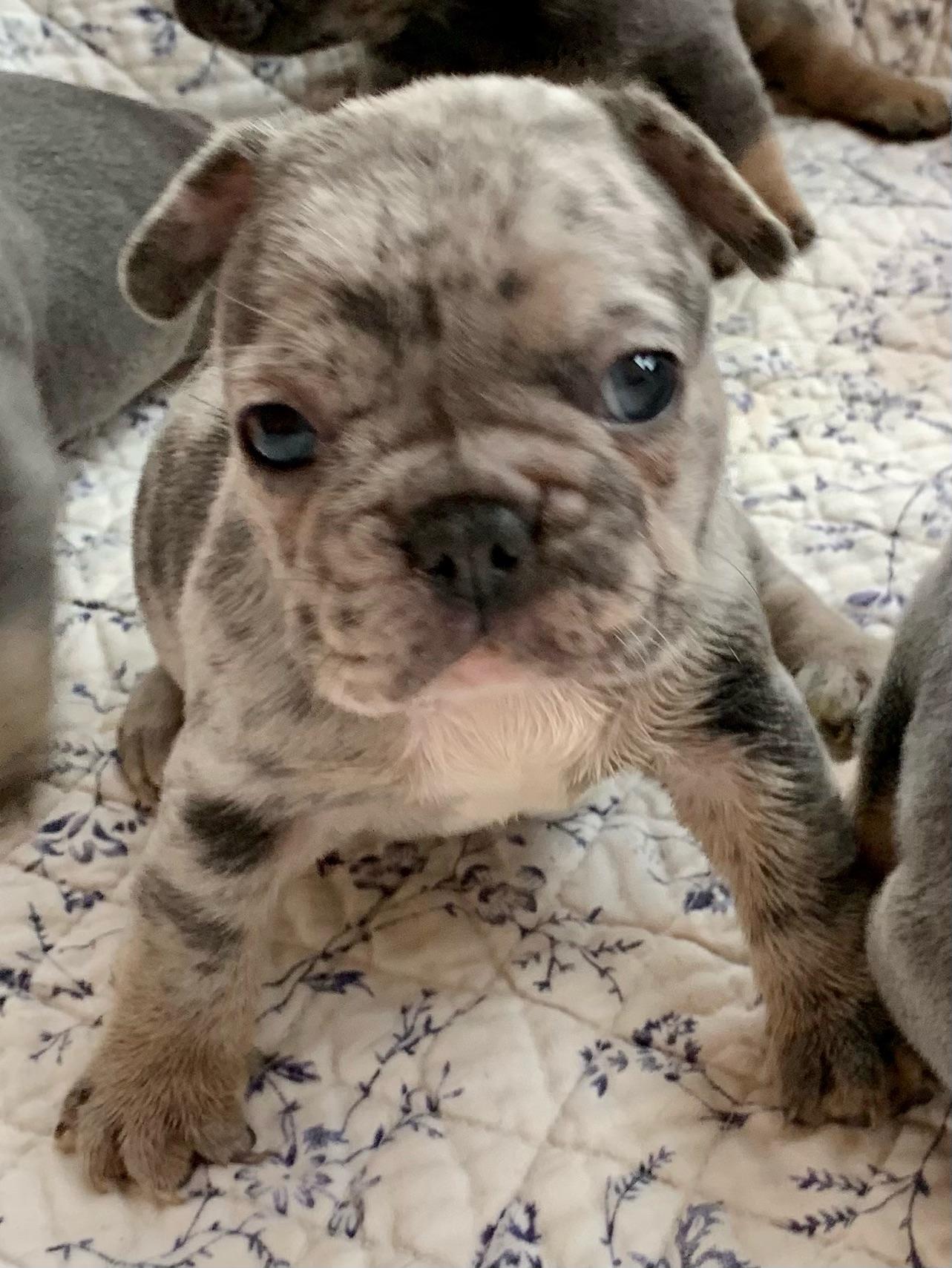 Blue Merle Male French Bulldog: Lazer-4407