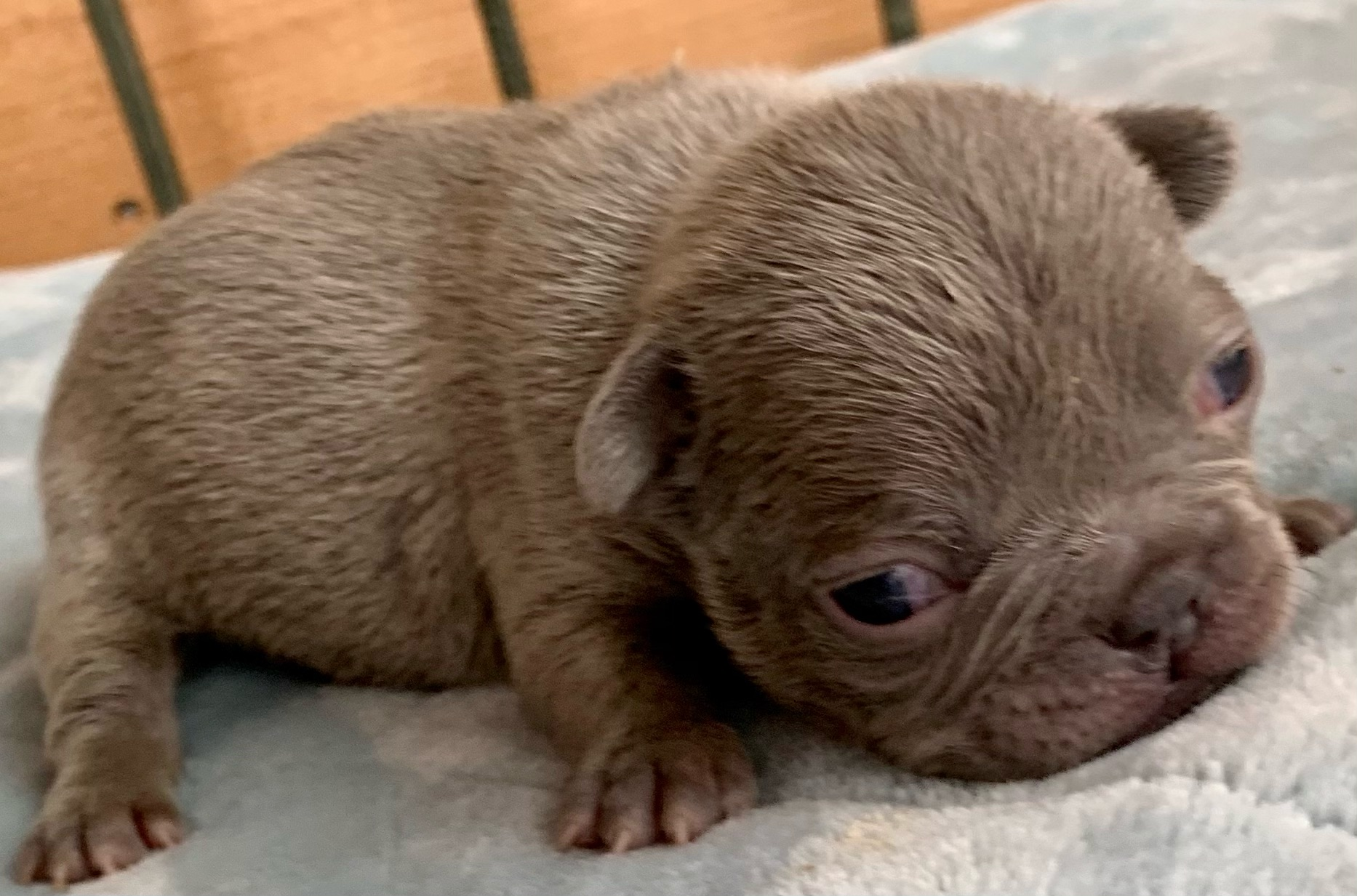 Lilac and Merle French Bulldog Litter: February 21, 2021