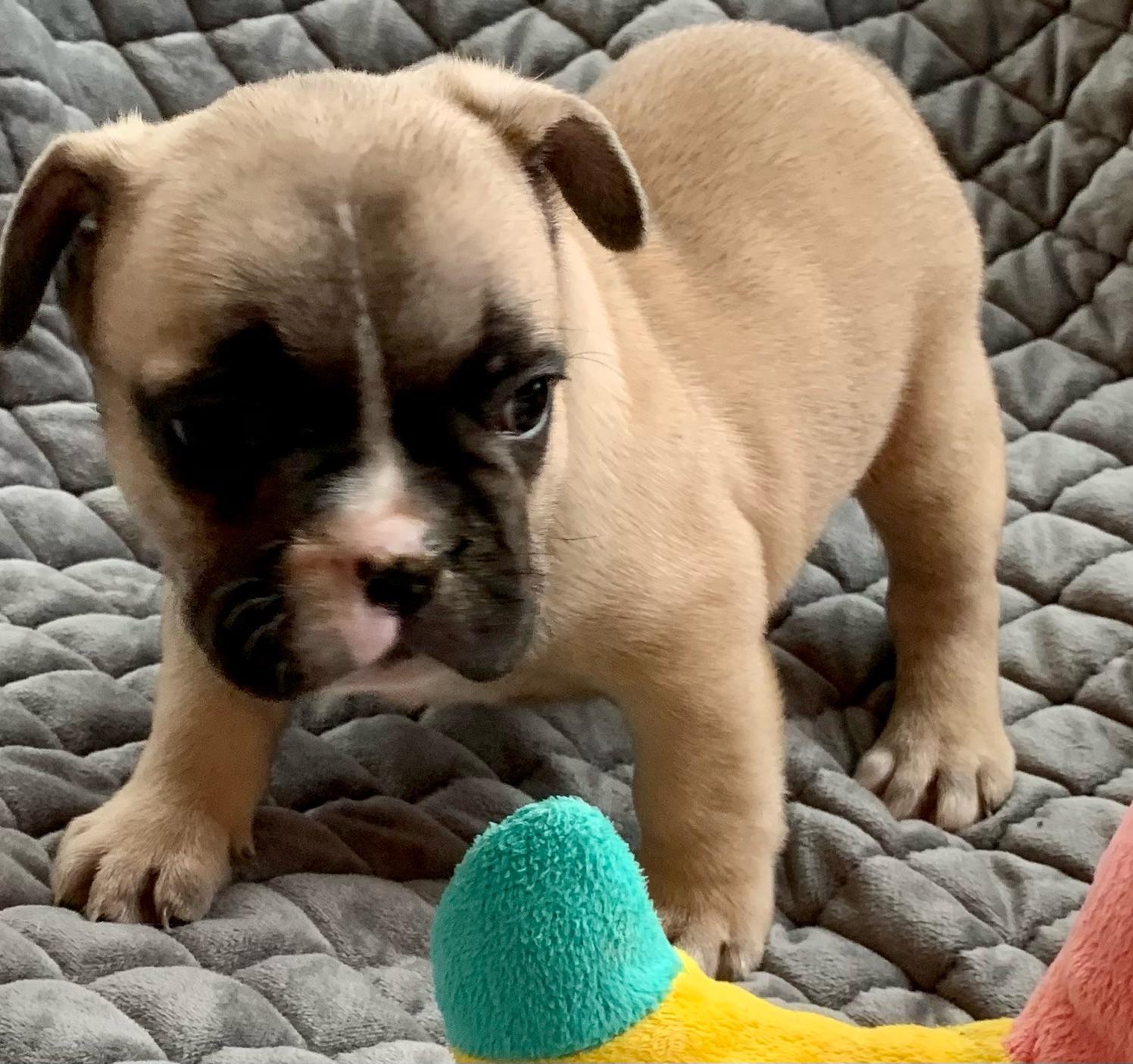 Fawn Male French Bulldog: Ireland-4582- Sold