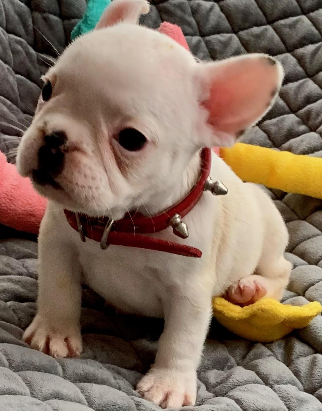 Extreme Pied/White Female French Bulldog: Ivory-2700