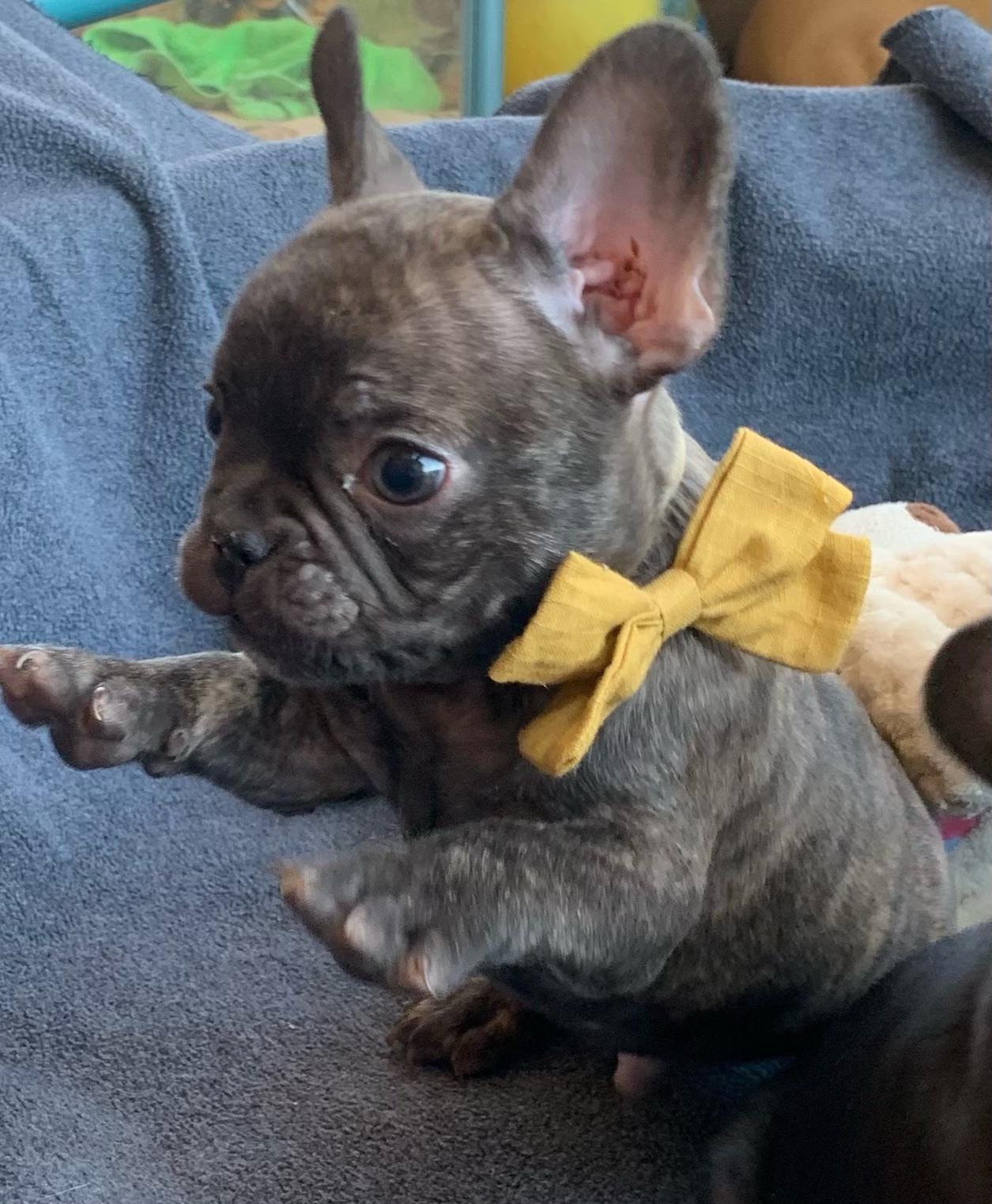 Chocolate Male French Bulldog: Gambit - 5351