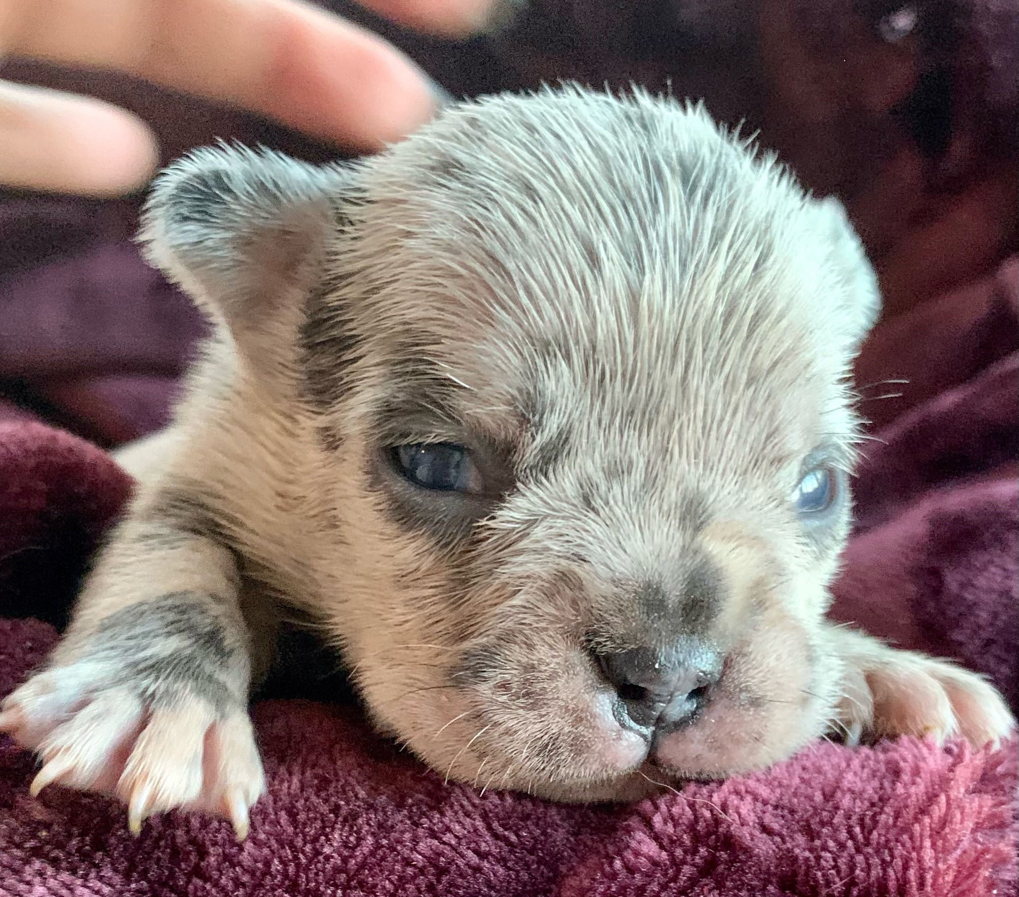 Blue and Merle French Bulldog Litter: March 20, 2021