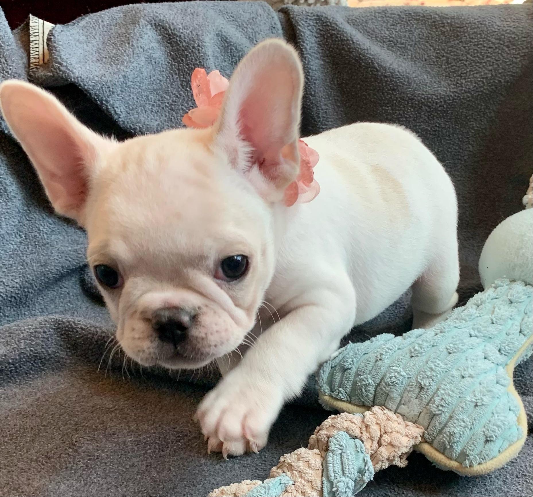 Cream Female French Bulldog: Jyn -2393