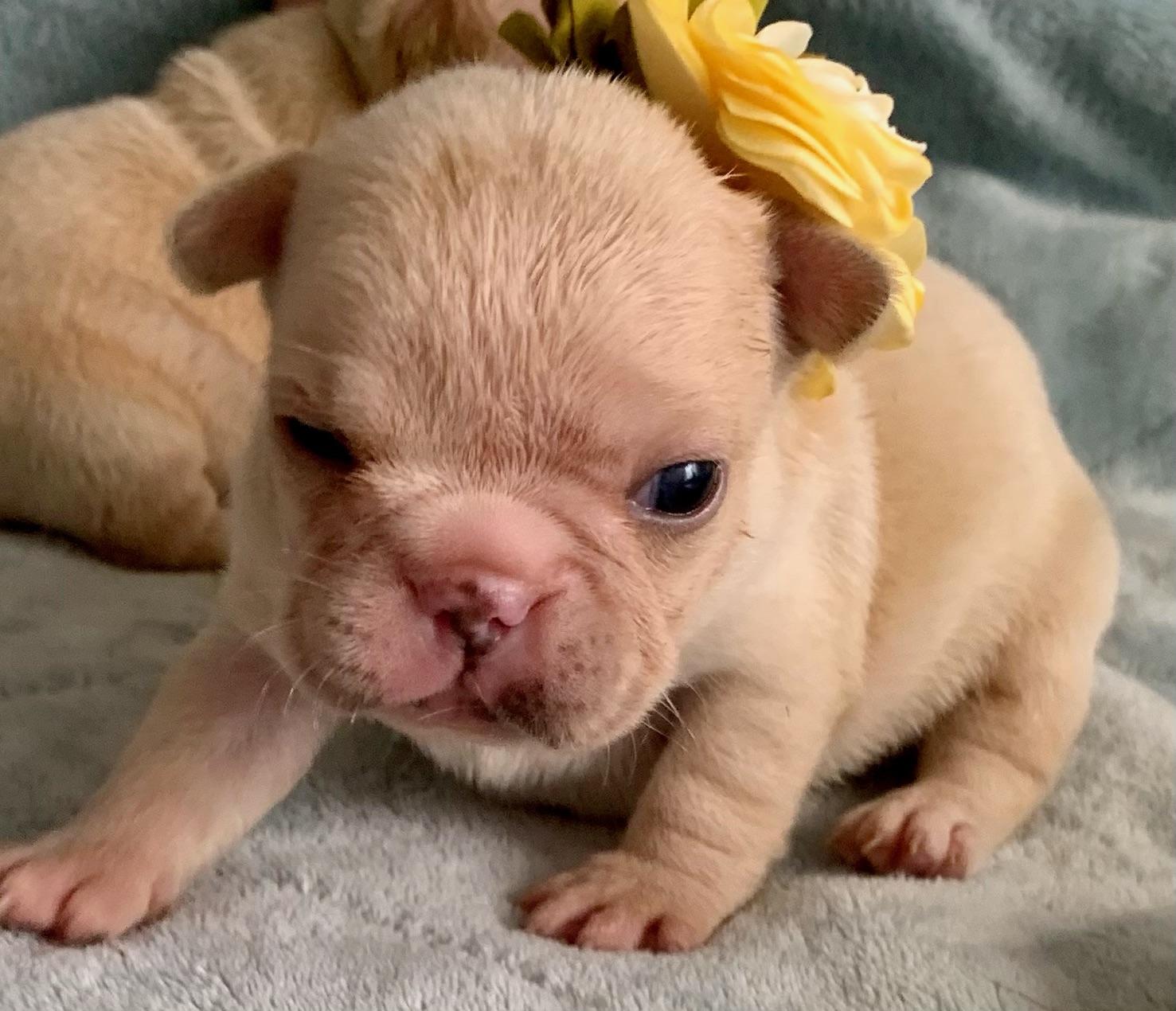 Cream Female French Bulldog: Whisper- 7628