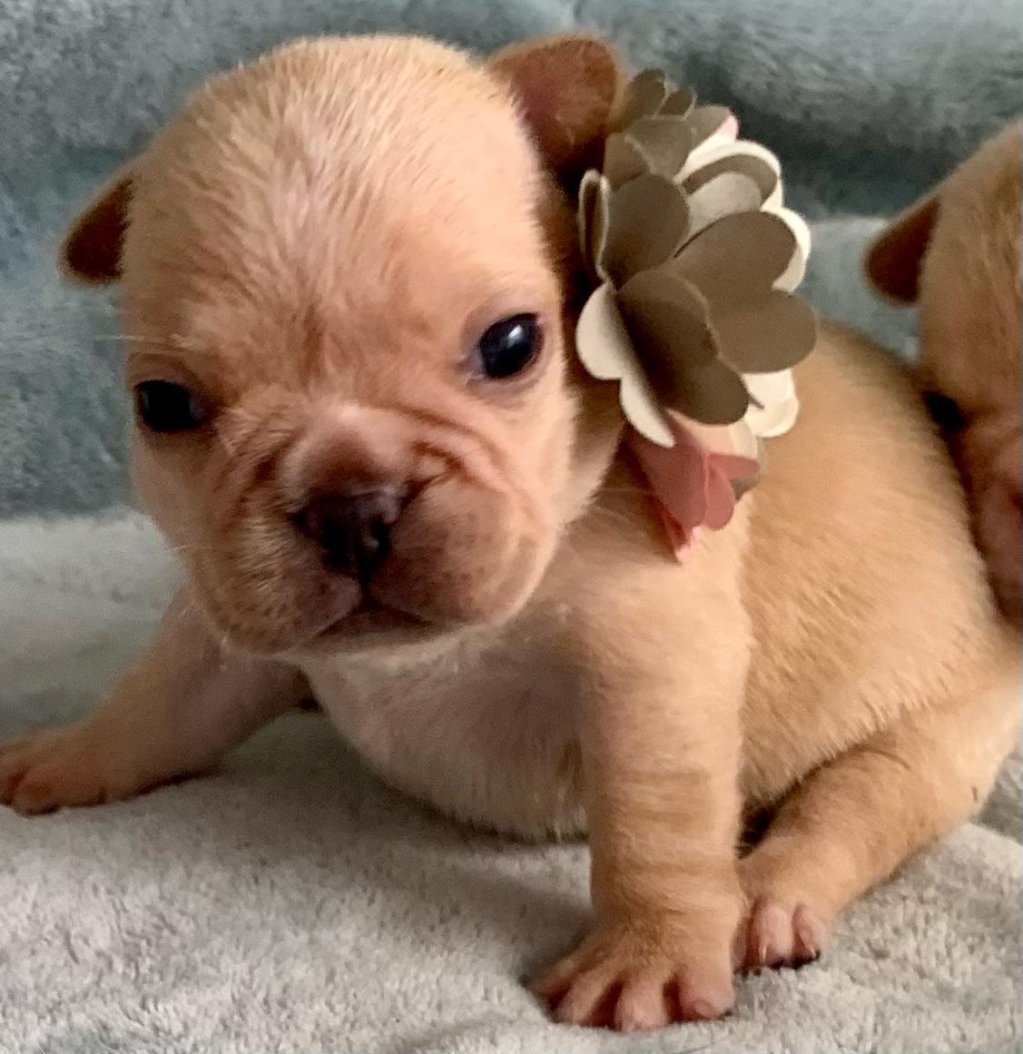 Cream Female French Bulldog: Wish-3618