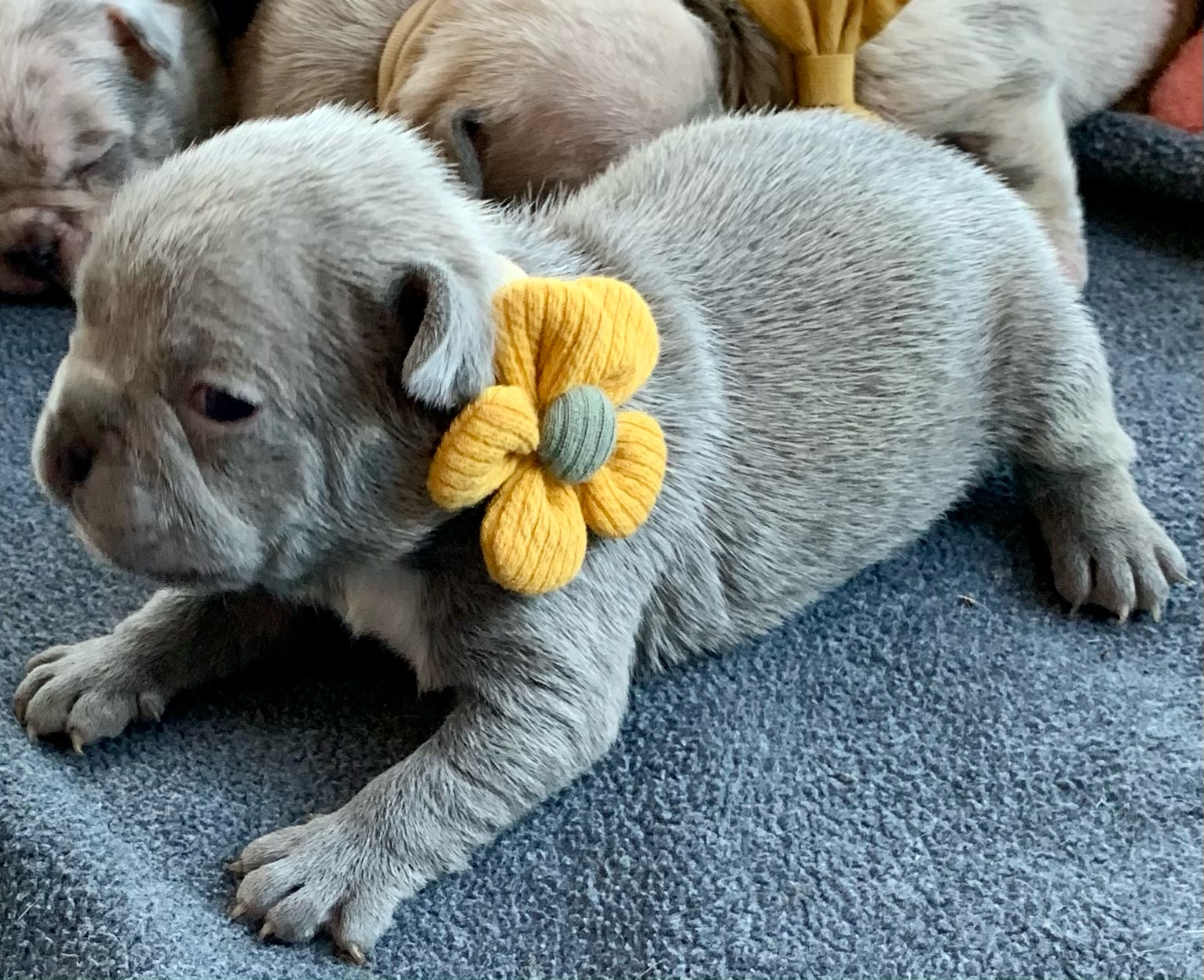 Lilac Female French Bulldog: Tinker-2771-SOLD