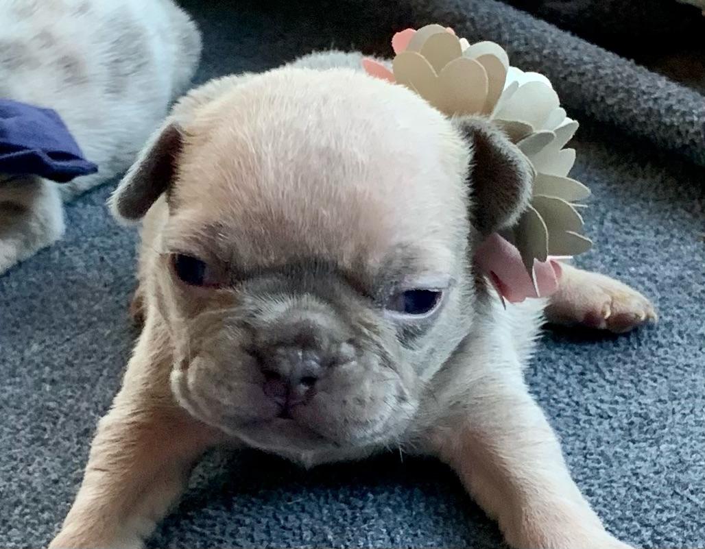 Lilac Fawn Female French Bulldog: Tessa-5004- SOLD