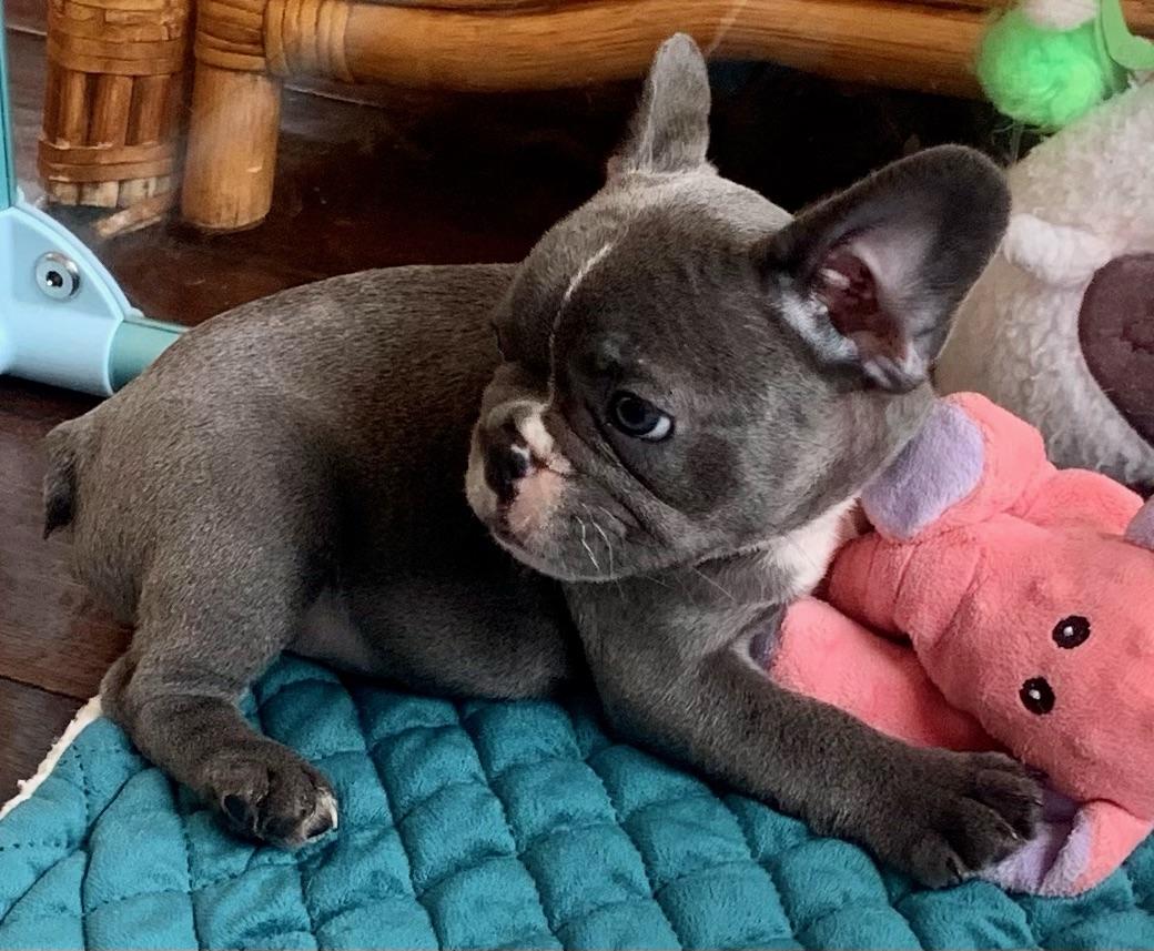 Lilac Male French Bulldog: Paco-3399