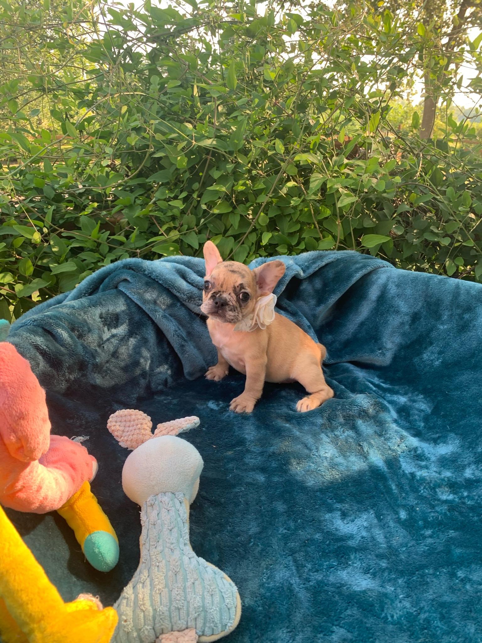 Fawn Merle Female French Bulldog: Athena-SOLD