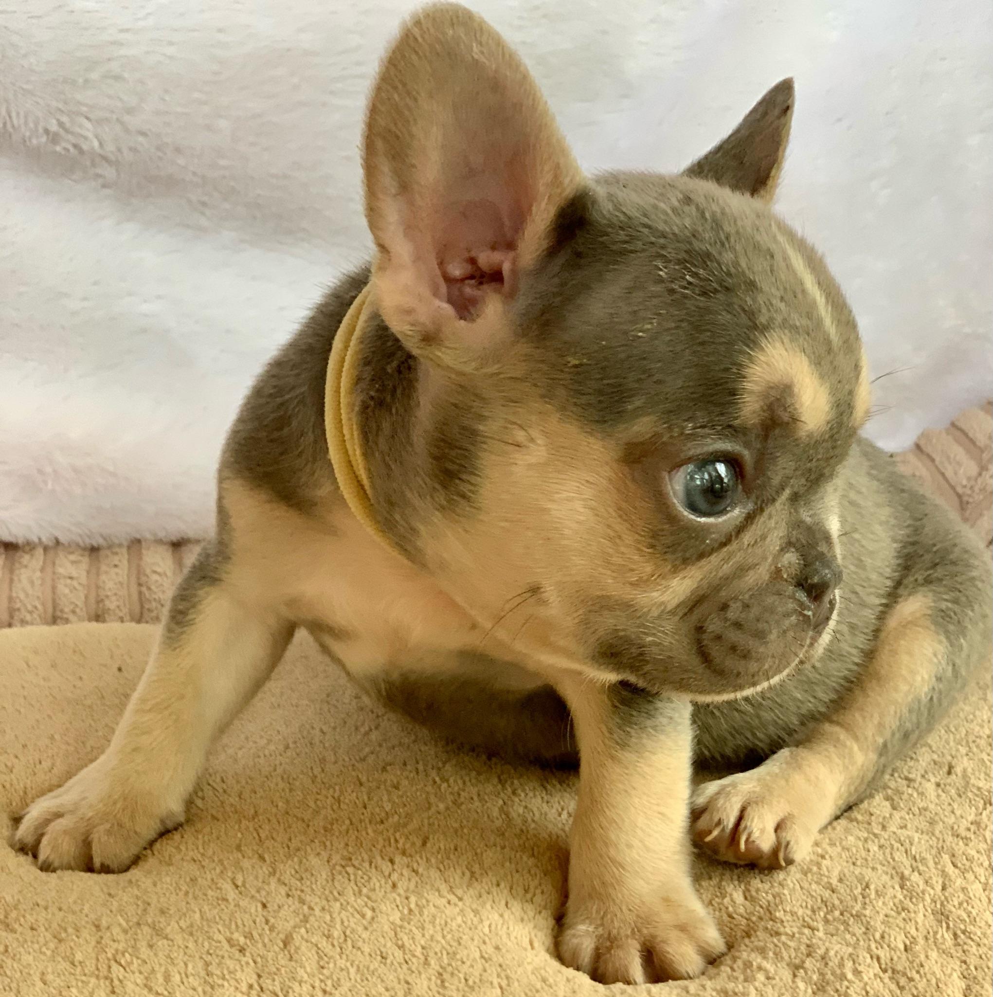 Lilac Male French Bulldog: Kermit-9369