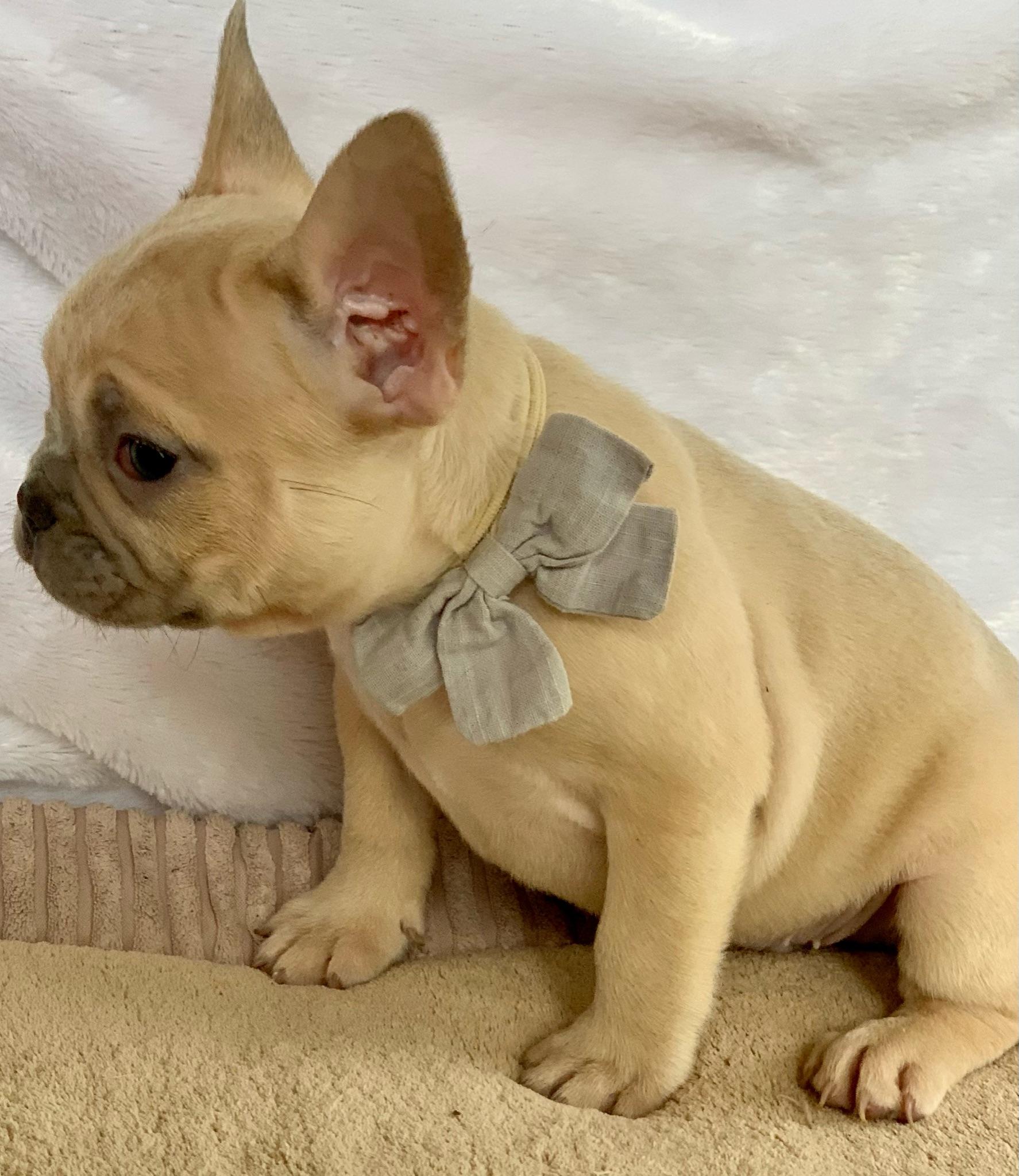 Lilac Fawn Male French Bulldog: Hamilton