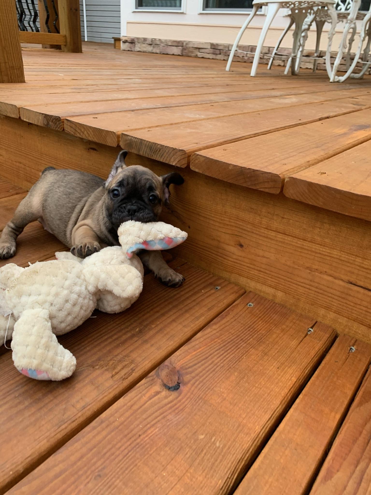 Fawn Female French Bulldog: Freesia