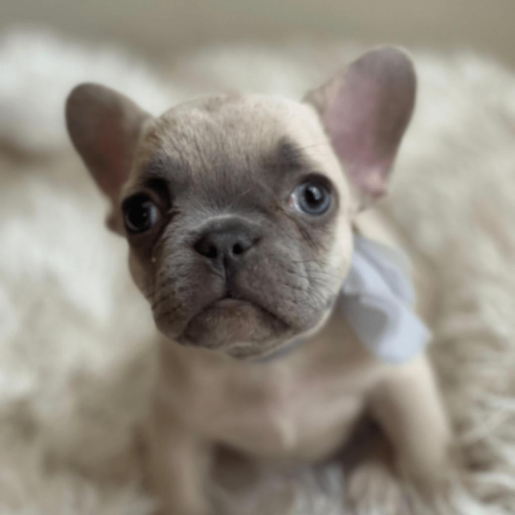 Lilac Fawn Female French Bulldog: Minnie