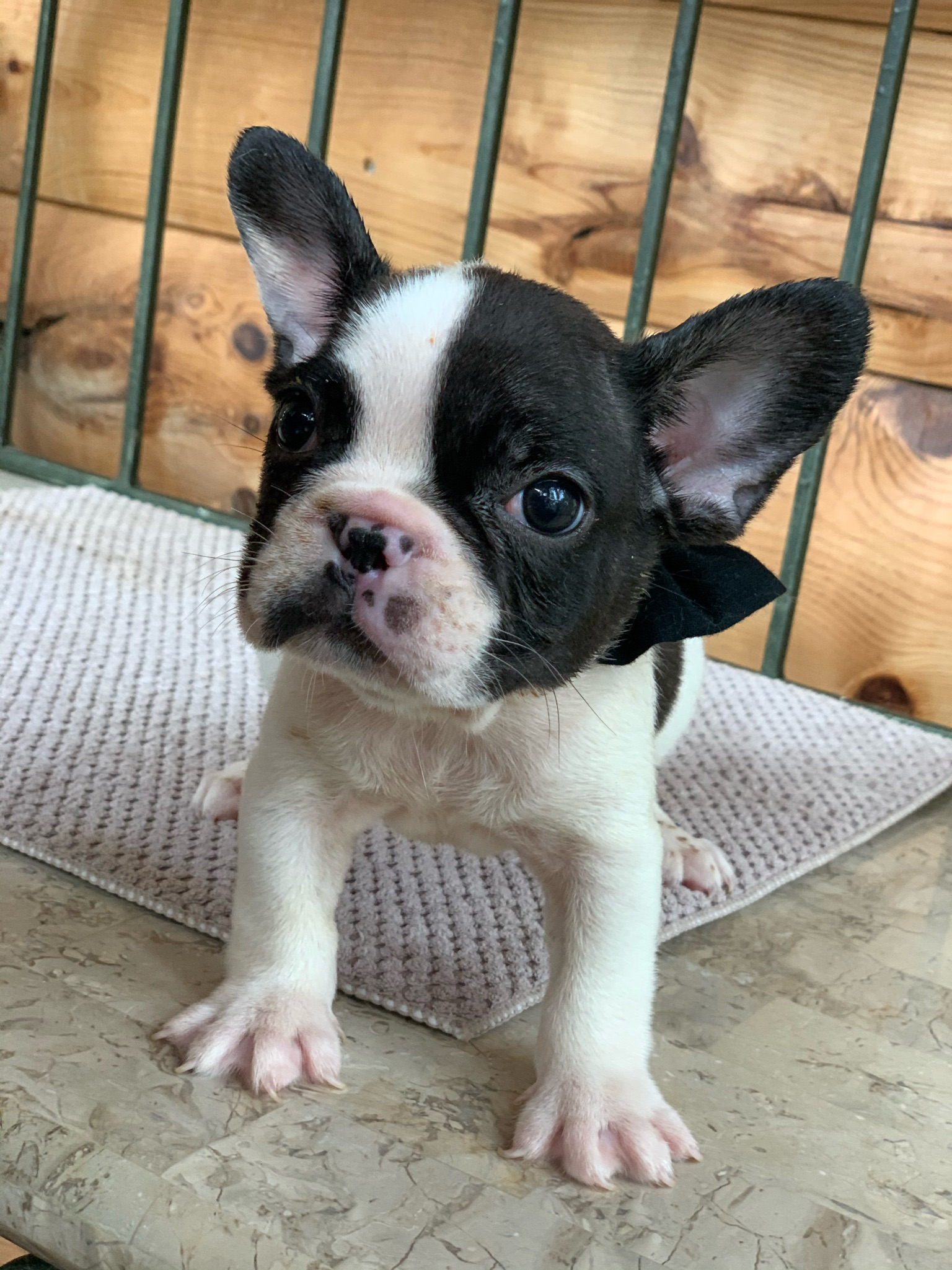 Brindle Pied Male French Bulldog: Jersey