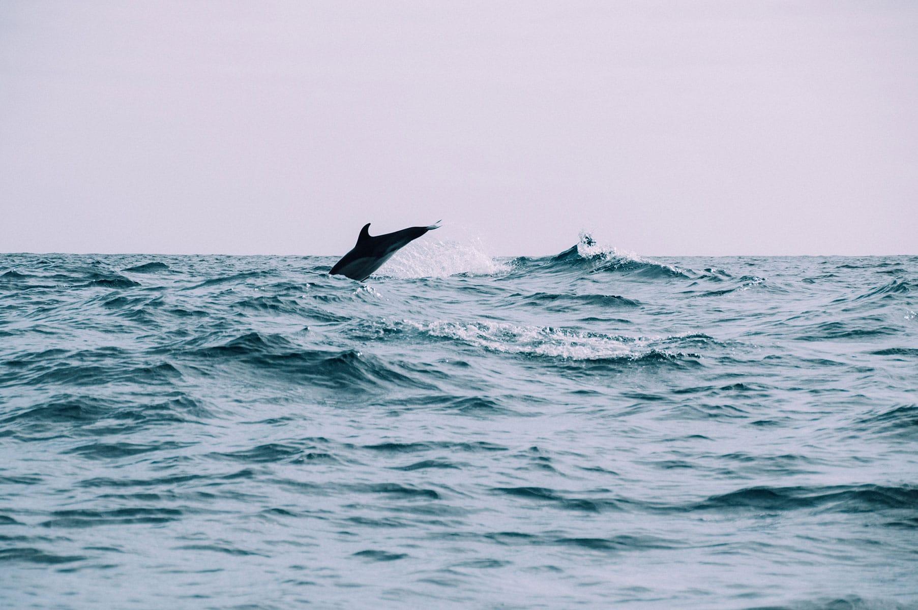 voir dauphin aux açores