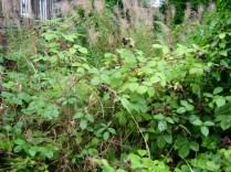 Blackberry bush / bramble_4