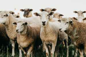 flock of sheep standing on grassland in countryside