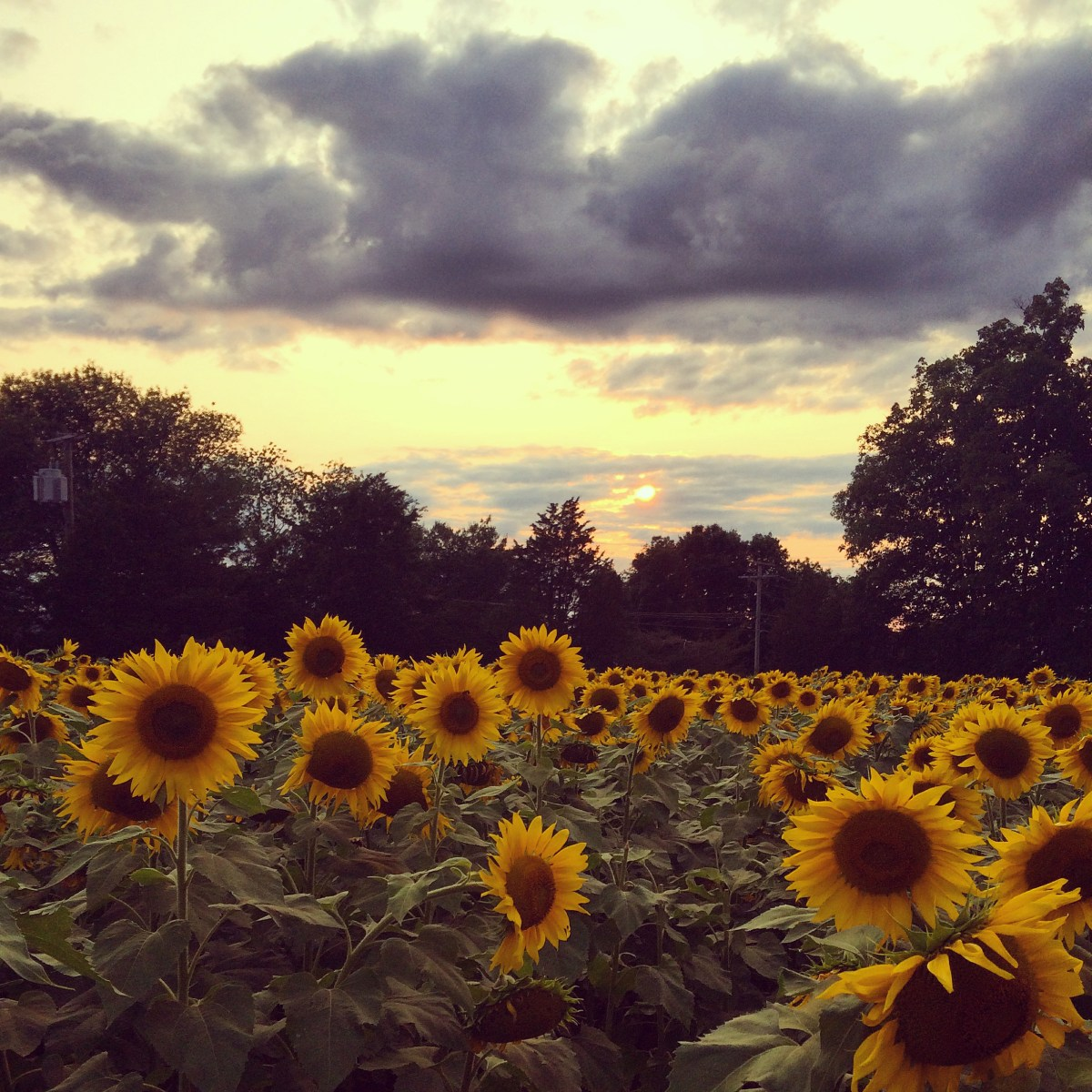Buttonwoods Sunflowers CT