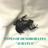 "Types of Dendrobates ""Auratus"" with pictures"