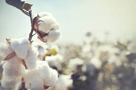 Worries of cotton stakeholders