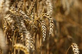 Wheat shortages in KPK