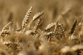 Looming wheat scarcity