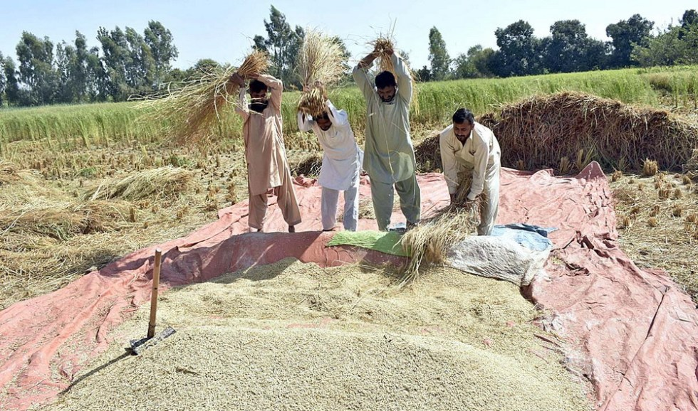 APP08-10 FAISALABAD: October 10 - Farmers threshing rice crop in traditional way in their field. APP photo by Muhammad Waseem