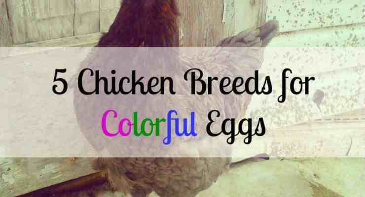 5 Chickens to Raise for Colored Eggs