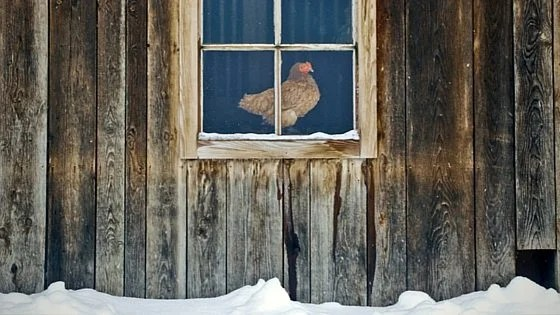 "Preparing Your Chicken Coop For Winter: Session 1 of ""What The Cluck?!"" [Podcast]"