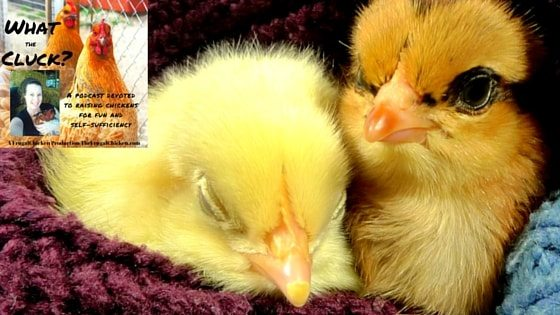 10 Chicken Facts That'll Amaze You! [Podcast] | Frugal Chicken