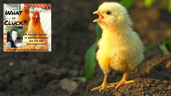 Chicken Illnesses & Symptoms You Need To Know [Podcast]