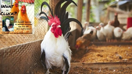 How To Clean Your Chicken Coop [Podcast]