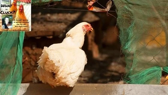 Keep Chickens Safe From Predators Using 10 Expert Tips [Podcast]