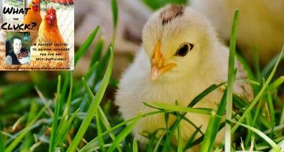Ultimate Baby Chick Guide