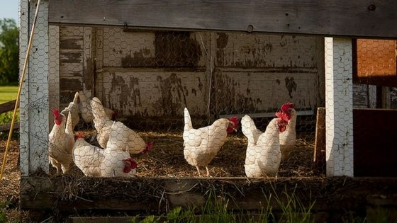 Does The Deep Litter Method For Chicken Coops Really Work?