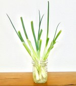 Growing Green Onions in Water Indoors