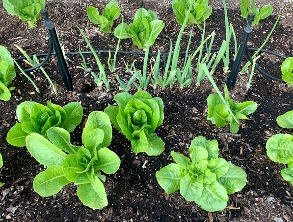 Regrow Green Onions in Soil