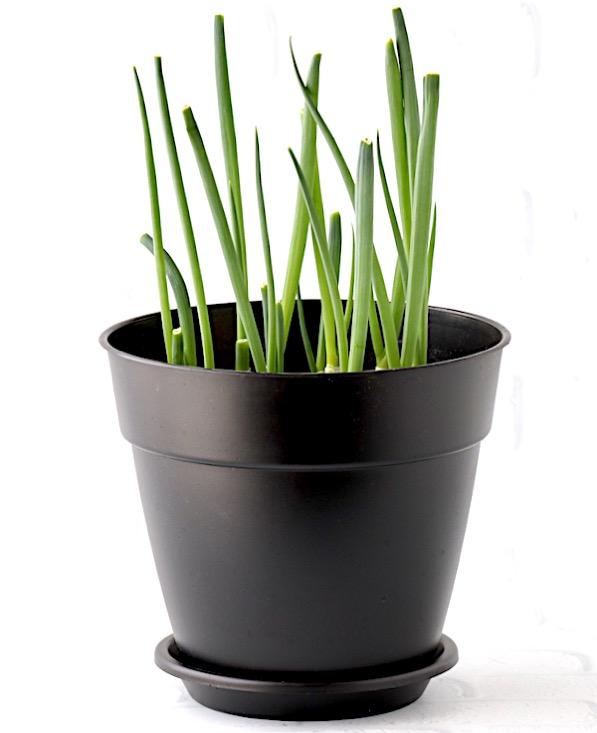 Regrowing Green Onions in Soil